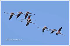 6978 - flamingos (chandrasekaran a 40 lakhs views Thanks to all) Tags: flamingos birds sholinganallur marsh nature india chennai canon60d tamronsp150600mmg2