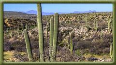 Saguaro Cactus (Explored 4 July 2017) (Sugardxn) Tags: garypentin sugardxn southwest photoshop picswithframes frame canon canon7d canoneos7d catalinastatepark catalina tucson arizona az nature saguaro cactus