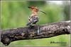 6957 - hoopoe (chandrasekaran a 44 lakhs views Thanks to all) Tags: commonhoopoe hoopoe birds nature india chennai canon eos400d sigma170500mm