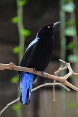 Asian Fairy Bluebird (Irena puella) (Seventh Heaven Photography) Tags: fairy bluebird irenapuella irena puella asian male nikond3200 bird animal