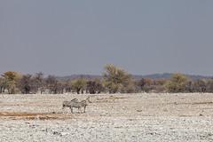 Veld : Zebra 4107 (Ursula in Aus) Tags: africa equuszebra etosha etoshanationalpark namibia mountainzebra plainszebra zebra