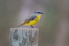 Eastern Yellow Robin DSC_5520 (BlueberryAsh) Tags: 2017 ccc strathcreek yeawetlands naitvebird australianbird easternyellowrobin robin nikond750 tamron150600 wildlife animal