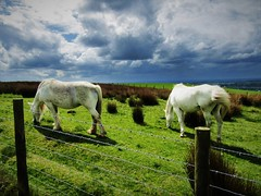 Weather Grazing (Neale H) Tags: clouds countryside horses sky rural nature equine horse white animals