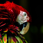 Red-and-green Macaw : ベニコンゴウインコ thumbnail
