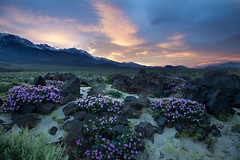 1,2,3 o'clock ,4 o'clock Rock (DM Weber) Tags: giant 4 oclock flowers lava rocks eastern sierra mountains california psa148 dmweber canon eos5dmk2 landscape sunset dusk