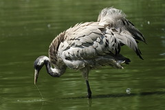 Gru (carlo612001) Tags: gru crane water bird birds nature wildlife natura uccelli