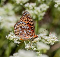 Coronis Fritillary (Speyeria coronis semiramis) (kaeagles) Tags: bugs butterfly fritillary palomarmountain sandiegocounty california