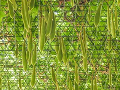 Wisteria Seed Pods (clarkcg photography) Tags: wisteria seeds seedpod green ceiling top outsidecover gorgeousgreenthursday wire