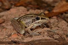 Rocket Frog (Litoria nasuta) (shaneblackfnq) Tags: rocket frog litoria nasuta shaneblack amphibian mt mount carbine fnq far north queensland australia tropics tropical