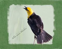 Yellow-headed Blackbird ~ Notebook Style (Johnrw1491) Tags: blackbird yellowheaded birds marsh oregon high desert summer lake wildlife nature journal notes song singing illustration