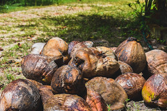 Coconuts (srikantpillai) Tags: d3400 nature stillife coconuts kerala nikon