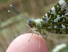 Orange Tip (Peanut1371) Tags: orangetip insect butterfly butterflie finger nationalgeographicwildlife
