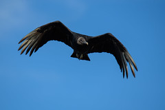 Black vulture (chmptr) Tags: oiseau vulture animal animalier bird wildlife vautour black