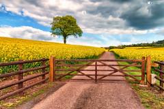 Rapeseed field (technodean2000) Tags: rapeseed field gate abergaveny mid wales uk tree nikon d610
