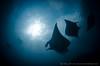 S I X (irwinunderwater) Tags: irwinunderwater irwinang diveadvisor underwaterphotograhy ray underwaterlife underwatercamera nikonasia nauticam uwphoto picoftheday potd diveindonesia natgeo nusapenida lighting mantaray indonesia bali reef underwaterworld wideangle paditv padi diverlife iamnikon instadive uwphotography nikon