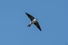 House Martin  -  Mehlschwalbe (CJH Natural) Tags: house martin housemartin mehlschwalbe bif inflight birdinflight fly bluesky natural nature outdoor outdoors animal wild wildlife bird vogel wing feather avian nikon d500 nikond500 telephoto 200500mm edvr nikkor christopherharrisorg