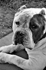 Now, My Life is Good.. (catherine4077) Tags: dog sanctuary pigsanimalsanctuary shepherdstown westvirginia