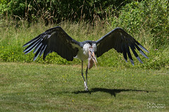 Marabou Stork (Don Dunning) Tags: animals bird birds britishcolumbia canada canadianprovince maraboustork northcowichan raptor raptorcentre stork vancouverisland