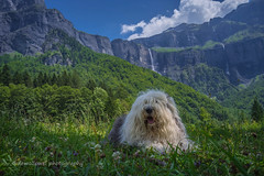 Sarah (dewollewei) Tags: alps oldenglishsheepdog oldenglishsheepdogs old english sheepdog sheepdogs sophieandsarah sophieensarah sarah france frankrijk haute savoye cirque six fer cheval mountains bergen