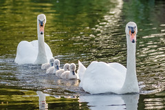 On Parade (shaftina©tion) Tags: anatidae cygnusolor mute muteswan swan adorable avian babies baby beautifulmajestic bird bright brood cute cygnet cygnets elegant family feathers fluffy lake large lovely loyal monogamous orangebill pond regal shaftinactioncom small sunny sunshine swimming water waterbird whitefeathers wildfowl young