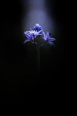 Lumière céleste. (SweeP_64) Tags: lumière céleste scille lys jacinthe flower fleur macro nature proxi cyrille masseys 6ril