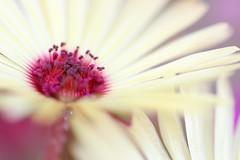 Two of Three (haberlea) Tags: garden mesembryanthemum flower plant yellow pale pink mygarden nature macro petals