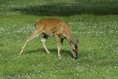 Young and Hungry (timvandenhoek1) Tags: deer whitetail young youth animal floraandfauna grass clover white eating hungry bennettsprings statepark ruralmissouri missouri midwest countryside july summer doe female whiteclover