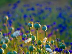 Blue (piranhabros) Tags: goldenhour purple flowers
