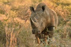Rhino horn does not cure anything!!! (Sumarie Slabber) Tags: rhino wildlife wild animal savetherhino africa sumarieslabber safari threatened grasses nature goodlight nikond500 photography big5