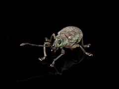 Baby Teeth (zxgirl) Tags: alexandria arkendale arthropods coleoptera em5ii onblack va animals insects nature summer weevils fangedweevil bug bugs animal animalia arthropod arthropoda hexapod hexapods hexapoda insect insecta beetle beetles polyphaga weevil curculionoidea curculionidae broadnosedweevil broadnosedweevils entiminae orientalbroadnosedweevils cyphicerini cyphicerina cyrtepistomus asiaticoakweevil cyrtepistomuscastaneus taxonomy:binomial=cyrtepistomuscastaneus p6220353 p6220354 p6220355 p6220356