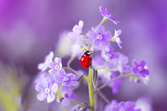 Forget-me-not 🐞💜 (ElenAndreeva) Tags: flowers beauty spring color nature macro flower sun summer leaf natural cute colors insect canon pink garden magic little purple soft flora colorful sweet bug light best amazing ledybug no person