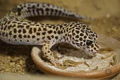 20170627X1919_Leopardgecko_0088 (RascheBilder) Tags: leopardgecko raschebilder