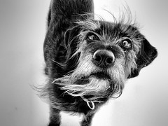 The Bearded Lady (LupaImages) Tags: face beard lady dog canine fur animal winter snow wind