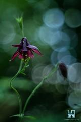 AQUILEGIA (Lace1952) Tags: fiore aquilegia aquilegiaatrata estate bolle orbs bokeh sfocato magia sogni panasonic lumix pancolar50mmf1 8