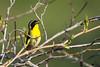 Paruline masquée (blackbird238) Tags: e janelle