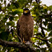 Crested Serpent Eagle - তিলা নাগ ঈগল