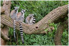 Ring-tailed lemur - Ringstaartmaki's (Lemur catta) in Avifauna ... (Martha de Jong-Lantink) Tags: 2017 avifauna ringtailedlemur ringstaartmaki vandervalkavifauna vogelparkavifauna