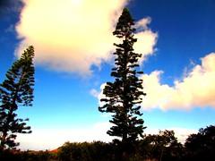 Cook Island Pines (thomasgorman1) Tags: pinetrees sky dark colors bluesky lanai hawaii canon trees