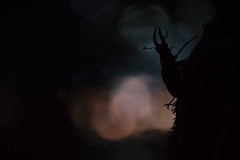 Stag Beetle (Daniel Trim) Tags: lucanus cervus european stag beetle insect wildlife nature animals bedfordshire silhouette