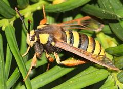 Hornet Clearwing Moth (Sesia Apiformis) (Ger Bosma) Tags: 2mg121117 hoornaarvlinder sesiaapiformis hornetmoth hornetclearwing hornissenglasflügler bienenglasflügler papillonfrelon sésiedupeuplier orugaperforadoradechopos abejilladelálamoydelchopo mimicry mimicking moth insect hornet wasp hoornaarsvlinder