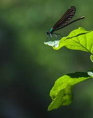 Dragonfly at the Geopark Iskar-Panega, Bulgaria (d_dobreff) Tags: nikon d90 dslr digital tamron tamronlens 28200 macro closeup detail nature composition dragonfly insect photography life green leaves plant wild wildlife shot park geopark iskar panega bulgaria bulgarian