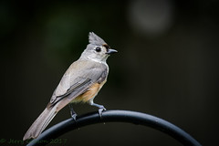 Backyard Tufted Titmouse 06-26-2017 (1 of 3) (Jerry's Wild Life) Tags: backyardtitmouse songbird songbirds titmouse tufted tuftedtitmouse backyard backyardtuftedtitmouse