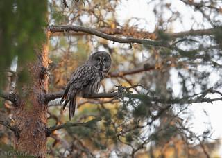 Chouette lapone Great Grey Owl  2316DxO.jpg
