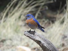 Western Bluebird (nolankeyes) Tags: bluebird westernbluebird