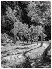 Cottonwoods in the Canyon (claudiov958) Tags: biancoenero bigbend blackwhite blancoynegro černýabílý chwarzundweiss claudiovaldés czarnyibiały mediumformat mediumformatdigital monochrome mountains ngc noiretblanc pentax645z pretoebranco rock utah zionnationalpark черноеибелое hdpentaxda6452845mmf45edawsr pentaxart
