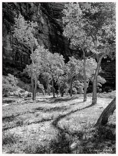 Cottonwoods in the Canyon