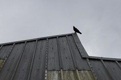 Long way up (Anxious Silence) Tags: animal architecture bird birds building corvid crow marwellzoo metal minimal nature places roof silhouette style texture wildlife zoo zoom
