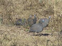 P1150909 Zimbabwe (21) (archaeologist_d) Tags: zimbabwe stanleylivingstonesafarilodge guineafowl africa southernafrica safari