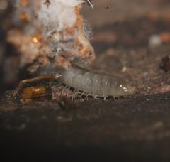 Translucent millipede with brown dorsal stripe Myriapoda Airlie Beach rainforest P1040206 (Steve & Alison1) Tags: translucent millipede with brown dorsal stripe myriapoda airlie beach rainforest