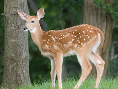 fawn (jimbobphoto) Tags: spotted ears deer whitetail fawn spots baby wildlife wild